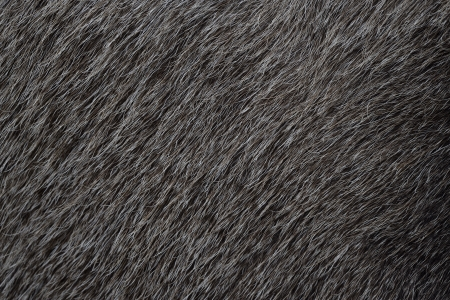 mamma: European moose, Alces alces machlis, single mamma close up of fur, Sweden