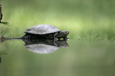 emys: European pond turtle, Emys orbicularis, single reptile by water, Hungary