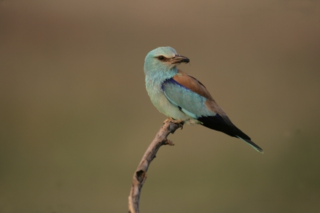 garrulus: European roller, Coracias garrulus, single bird on branch, Hungary