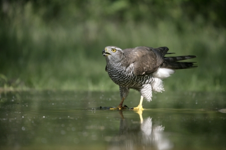 accipiter gentilis: Goshawk, Accipiter gentilis,single bird at water,  Hungary