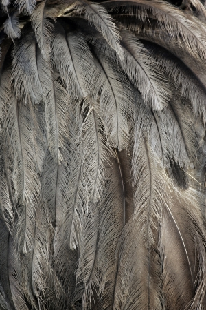 rhea: Greater rhea,  Rhea americana, single bird feathers close up, Brazil