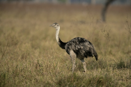 rhea: Greater rhea,  Rhea americana, single bird on grass, Brazil