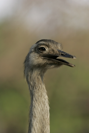 rhea: Greater rhea,  Rhea americana, single bird head shot, Brazil Stock Photo