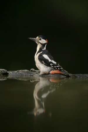 dendrocopos: Great-spotted woodpecker, Dendrocopos major, single bird at water, Hungary