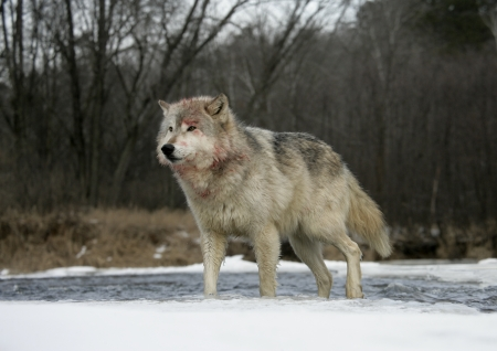 canis lupus: Grey wolf, Canis lupus,single mammal on snow,