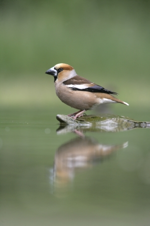 Hawfinch, Coccothraustes coccothrauste, single male at water, Hungary photo