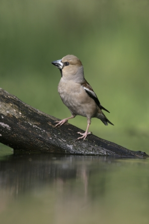 Hawfinch, Coccothraustes coccothrauste, single female at water, Hungary photo