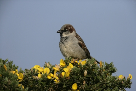 passer    by: House sparrow, Passer domesticus, single male on gorse, Scotland  Stock Photo