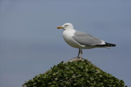 larus: Herring gull, Larus argentatus, single bird on rock,