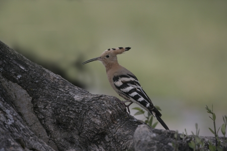 Hoopoe, Upupa epops, single bird at a  nest, Spain photo