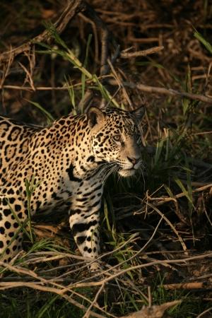 panthera onca: Jaguar, Panthera onca, single mammal in the Pantanal, Brazil