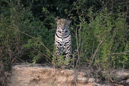 onca: Jaguar, Panthera onca, single mammal in the Pantanal, Brazil