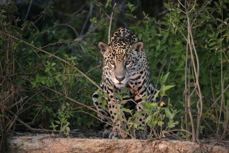 zoogdier: Jaguar, Panthera onca, enkel zoogdier in de Pantanal, Brazilië
