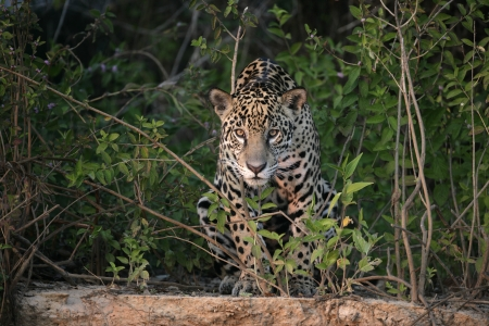 Jaguar, Panthera onca, single mammal in the Pantanal, Brazil