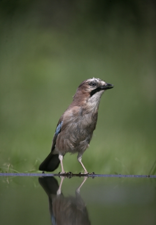 garrulus: Jay, Garrulus glandarius, single bird at water,  Hungary
