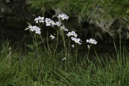 smock: Ladys smock, Cardamine pratensis, group of flowers, Dorset   Stock Photo
