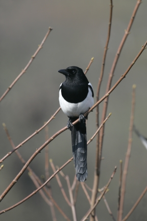 pica: Magpie, Pica pica, single bird on branch, Wales Stock Photo