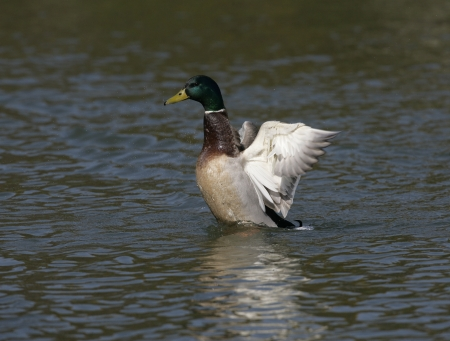 anas platyrhynchos: Mallard,  Anas platyrhynchos, single male on water,UK