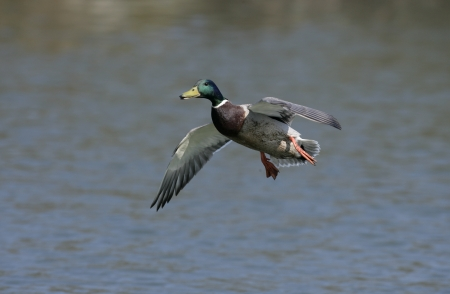 anas platyrhynchos: Mallard,  Anas platyrhynchos, single male in flight,UK