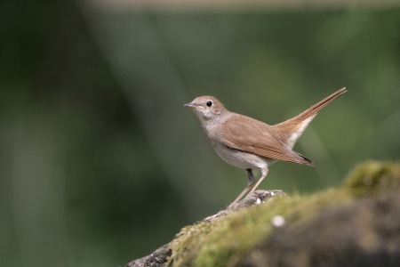 Nightingale, Luscinia megarhynchos, single bird on branch, Hungary