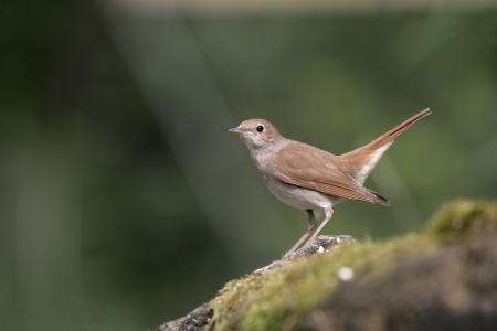 Nightingale, Luscinia megarhynchos, single bird on branch, Hungary
