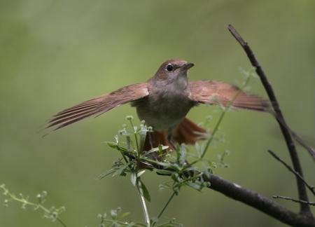 bird nightingale: Nightingale, Luscinia megarhynchos, single bird on branch, Hungary