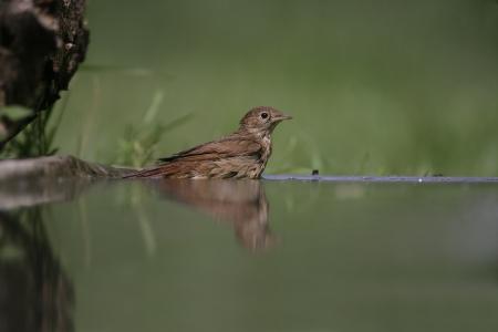 bird nightingale: Nightingale, Luscinia megarhynchos, single bird at water, Hungary