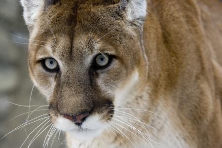 퓨마 또는 마운틴 사자, 푸마 concolor, 눈 속에있는 단일 고양이, 포로