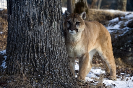 Puma or Mountain lion, Puma concolor, single cat in snow, captive Фото со стока