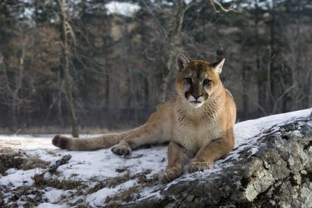 Puma or Mountain lion, Puma concolor, single cat in snow, captive Archivio Fotografico