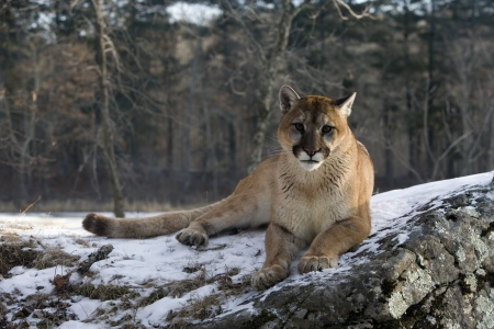 Puma or Mountain lion, Puma concolor, single cat in snow, captive Stock Photo