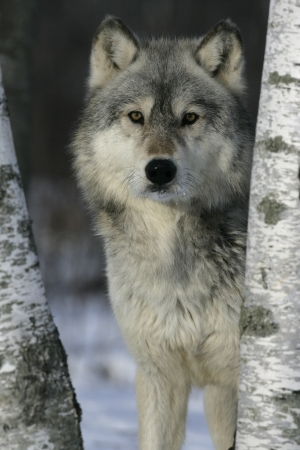 Grey wolf, Canis lupus, single mammal head shot, captive                    Stockfoto