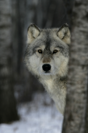 Grey wolf, Canis lupus, single mammal head shot, captive                    Фото со стока