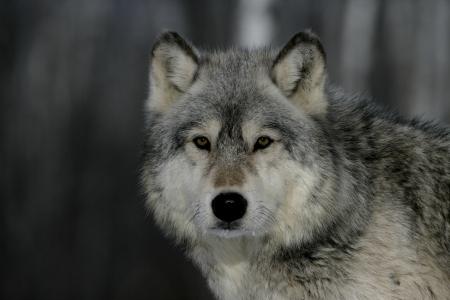 Grey wolf, Canis lupus, single mammal head shot, captive                    Stockfoto