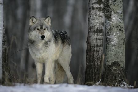 회색 늑대, 큰 개자리 낭창, 포유류 눈에 단일 포로