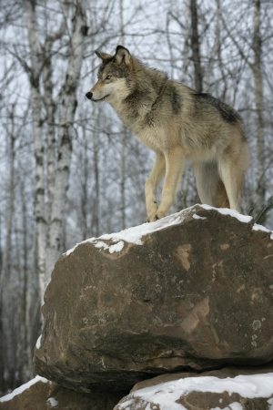 canis lupus: Grey wolf, Canis lupus, single mammal on snow, captive