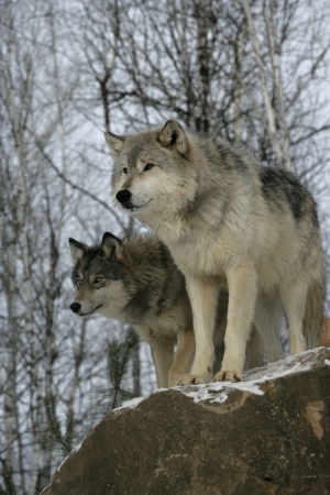 Grey wolf, Canis lupus, two wolves,  captive                    Stock Photo