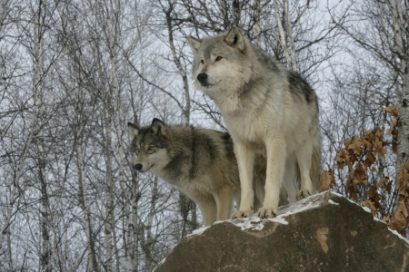 lupus: Grey wolf, Canis lupus, two wolves,  captive                    Stock Photo