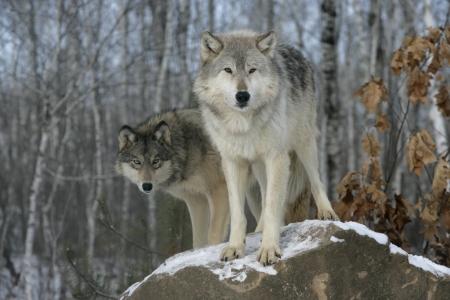 Grauer Wolf, Canis lupus, zwei Wölfe in Gefangenschaft