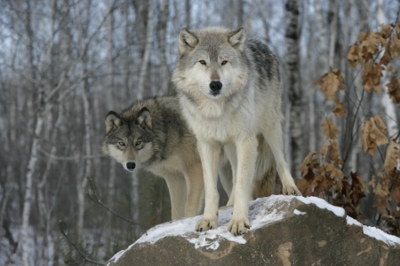 Grey wolf, Canis lupus, two wolves,  captive                    Archivio Fotografico