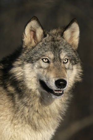 wolf head: Grey wolf, Canis lupus, single mammal head shot, captive                    Stock Photo