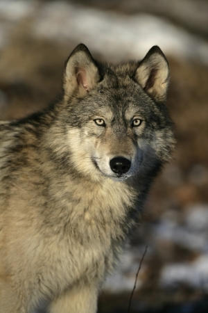 Grey wolf, Canis lupus, single mammal head shot, captive Stock Photo - 23360629