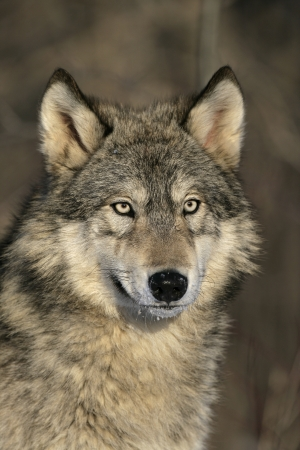 Grey wolf, Canis lupus, single mammal head shot, captive Stock Photo - 23360631