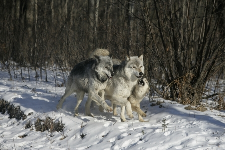 lupus: Grey wolf, Canis lupus, group of wolves on snow, captive