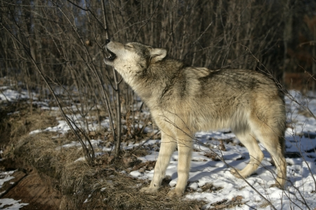 Grey wolf, Canis lupus, single mammal on snow howling, captive                    Stockfoto