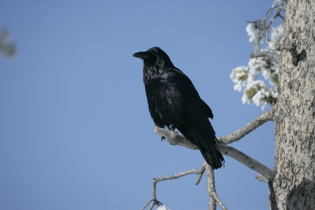 corax: Raven, Corvus corax, single bird in frost covered tree, winter, Yellowstone, USA Stock Photo