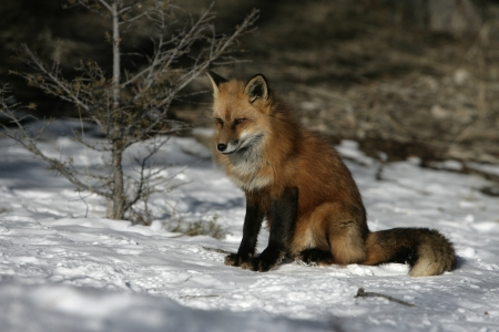 Red fox, Vulpes vulpes, single mammal on snow, captive, USA