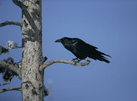 corax: Raven, Corvus corax, single bird in tree, Yellowstone, USA