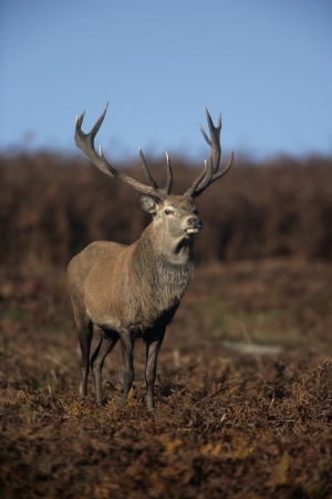 cervus elaphus: Red deer, Cervus elaphus, single male on grass, Bradgate Park, Leicestershire Stock Photo