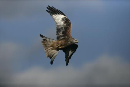 milvus: Red kite, Milvus milvus, single bird in flight, Wales, UK